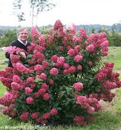 Fire Light Hydrangea paniculata