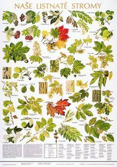 detail Naše listnaté stromy - nástěnná tabule ( 67x96 cm )
