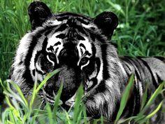 Black tiger .. ♡ Beautiful ♡