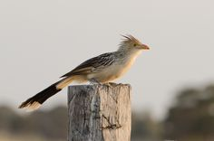 Guira Cuckoo | Pantanal, MS, Brazil / Aug.