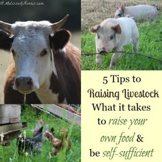 Concerned about our modern food system and the growing cost? Here's 5 tips to raising livestock and what it really takes to raise your own livestock and if it's for you. Read now if you've ever wanted to raise your own food.