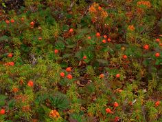 Cloudberry (rubus chamaemorus), also known as bakeapple, is a rhizomatous herb native to alpine and arctic marshes and wet meadows. It grows to 10-25cm and produces amber-colored edible fruit in late Jul and early Aug. Cloudberries have a subtle, delicate flavour and are used to produce jams and very aromatic cloudberry liquor. Fruit production requires both male and female plants. Zone 3-9
