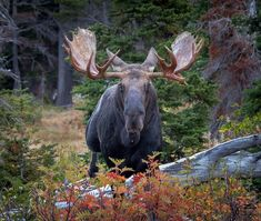 Moose, Animals, Animaux, Mousse, Animal, Animales, Elk, Animais