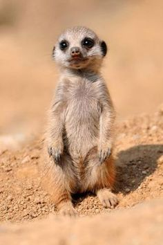 Meercats are inhabitants of Africa, they usually stand outside their burrow, gazing at the sky on the look out for birds of prey, that can carry a baby off as a meal. What a shame that would be, if it were to happen to this cutey.