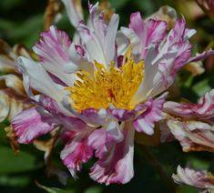Paeonia 'Nambu Nishiki'. Blüte weiß-rosa gestreift, einfach, leicht gefranst, kleinblumig, 80cm, Mai - Juni / mittel, Rarität.