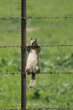 Squirrel On Barb Wire Fence