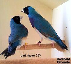 dark factor