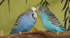 WATCH: Two Budgies Adoring Each Other   I Love Parakeets