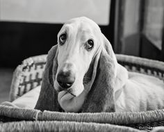 Family portrait photography including a collection of dogs! Shot on location at home in Pretoria. Fun Family Portraits, Family Portrait Photography, Dog Portraits, Dog Photography, Bassett Hound, Pretoria, Take A Nap, I Love Dogs, Black And White Photography