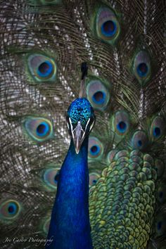 peacock colors.