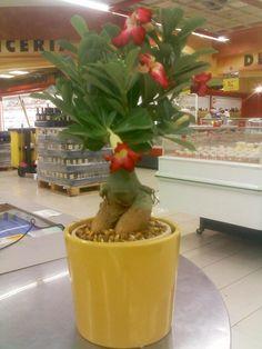 Conceptos #1: Flor del desierto (RD$336) + Macetero en cerámica amarillo (RD$320) l Disponibles en JUMBO Las Colinas.   Ezequiel Antonio   Visual Merchandising