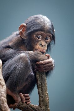 Baby Bonobo  (The bonobo is one of the most rare and intelligent animals in the world.  They are a similar size to a chimpanzee, but bonobos are more slender and have smaller heads and smaller ears).  Bonobos are found in the Democratic Republic of Congo, Africa.