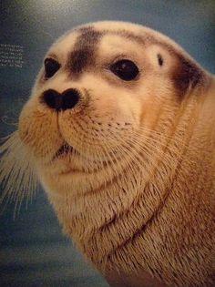 bearded seal <3