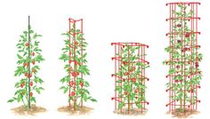 Troubleshooting Tomato Problems, Tomato Pests | Gardener's Supply Staking Tomato Plants, Tomato Pruning, Tomato Seedlings, Cherry Tomato Plant, Tomato Tomato, Tomato Stakes, Tomato Support, Growing Tomatoes From Seed, Growing Grapes
