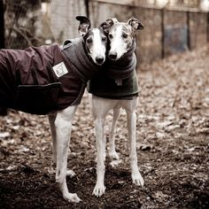 Helo and Smokey (greyhounds) - I love how greys lean on each other (or you).