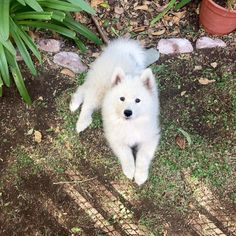 """Loba Pelusa II Samoyed Chile (@samoyed_loba) on Instagram: """"Tomando un descanso #samoyed #puppy #puppydog"""""""