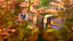 Clown killifish, Epiplatys annulatus.  Non-annual killifish.  Diminutive, pretty fish, hard to keep.  For advanced aquarists.