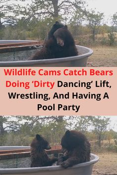 Recently in Douglas County, Colorado, A stunning gallery of adorable wildlife was caught on video. The footage was taken on September 19th in the HRCA Backcountry Wilderness Area located directly south of the city of Denver. It shows three exuberant bears having the time of their lives in one of the area's main water resources.