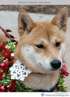 Christmas Shiba. It doesn't look like he's really embracing the holiday spirit.