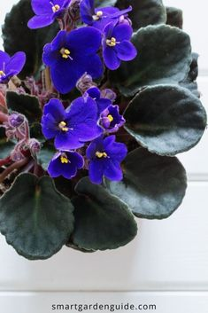 Simple tips to help you get your African Violets to bloom, and thrive year after year. Indoor Flowering Plants, Blooming Plants, Common House Plants, Self Watering Pots, Violet Plant, Saintpaulia, Smart Garden, House Plant Care, Tree Care