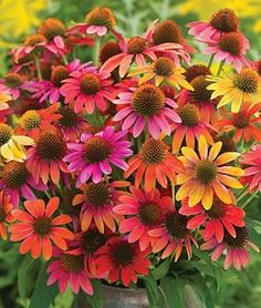 Echinacea (or know as coneflower)  This is new this year, its name is Warm Summer.  Excellent butterfly plant and deer resistant #flowers