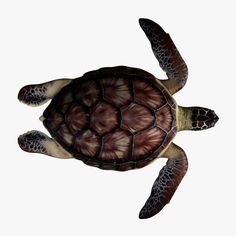 top view of a sea turtle - Google Search