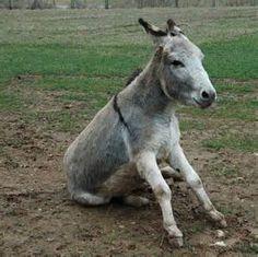 donkeys mules - Bing Images