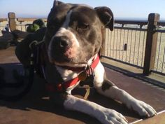 """Delta Air Lines has announced an arbitrary ban of """"pit bull type dogs"""" as service animals on their flights. Join the opposition to the blatant discrimination against people with disabilities based on their service dog's appearance."""