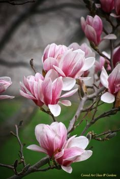 Conrad Art Glass & Gardens: The beginning of magnolia season. Flor Magnolia, Magnolia Trees, Magnolia Flower, Flowers Nature, Spring Flowers, Wild Flowers, Watercolor Flower, Flower Aesthetic, Orchid Care