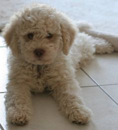 "Lagotto Romagnolo puppy ~ the ""Italian Water Dog"""