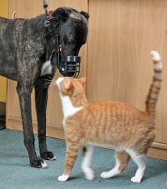 Greyhounds meet a cat as aprt of their temperament assessment