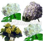 Buy an assorted hydrangea flower pack of beautiful fresh cut hydrangeas. Our bulk hydrangeas are farm direct to you for maximum freshness and vase life.