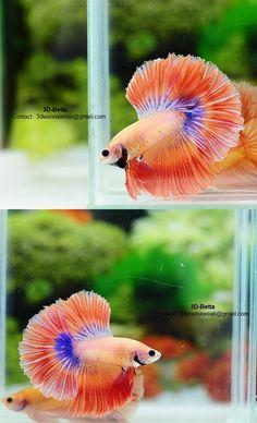 .Orange betta #bettafish