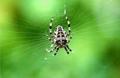 Spinnen:   Verlaten het web en verbergen zich, onweer. Verscheuren hun web, storm of onweer. Schudden 's morgens hun web, mooi weer.  Werken in de regen en verbinden hun web aan zeer lange draden, goed weer. Verlaten hun web en zetten nieuw op, draaiende wind. Huisspinnen maken grote voorraad, strenge winter. Huisspinnen zoeken de warmte, vorst. Huisspinnen kruipen bij de ramen, dooi. Huisspinnen lopen nog 's avonds, regen.