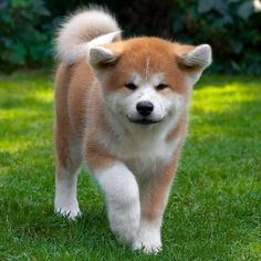 Akita Puppies, Akita Dog, Cute Puppies, Dogs And Puppies, Japanese Akita, Japanese Dogs, Cute Animal Pictures, Dog Pictures, Cute Funny Animals