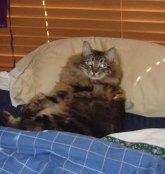 Bee - a Maine Coon cross at approximately 10 months of age.  Bee was rescued at the age of 12 weeks from a feral cat colony by the Greater Victoria Animal Crusaders.  He now belongs to a loving family - gotta love happy endings!