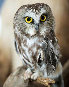 Saw Whet Owl <3