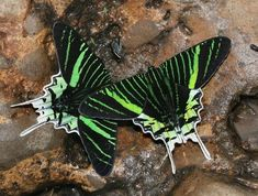 Outstanding 24 The Anatomy of Beautiful Butterfly Wings https://meowlogy.com/2018/04/07/24-the-anatomy-of-beautiful-butterfly-wings/ The spots close to the apex are yellow