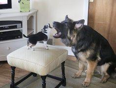 Chihuahua vs German Shepherd..LMAO and the chihuahua won!