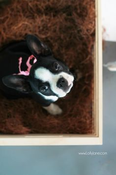 Sweetest boston terrier puppy. Put her snacks in attractive storage: pretty jar filled with your best friend