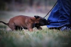 7 week old Belgian Malinois Rambo