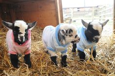 Baby goats in sweaters. Cute Baby Animals, Farm Animals, Animals And Pets, Funny Animals, Mini Goats, Cute Goats, Baby Goats In Sweaters, Small Goat, Nigerian Dwarf Goats