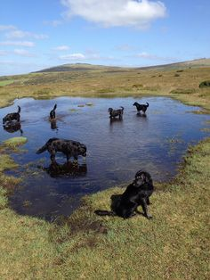 Flatcoats and Water leads to fun!
