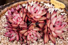 Echeveria agavoides Red Sirius Multihead Very Rare   ariocarpus haworthia cactus