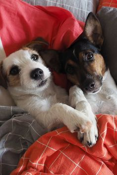 Doggie siblings cubbling in bed. Jack russell terrier sisters dog photography.