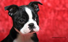 Boston Terrier puppy on red
