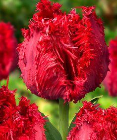 Tulpen 'Barbados' | Specials | Bakker Hillegom