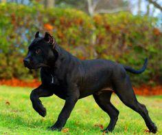 Gorgeous and impressive ❤ Cão Cane Corso, Beautiful Dogs, Animals Beautiful, Black Pitbull Puppies, Animals And Pets, Cute Animals, American Pitbull, War Dogs, Chica Anime Manga