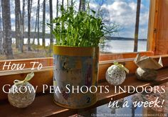 """""""Recipe"""" How to Grow Pea Shoots (or Sprouts) Indoors In A Week"""