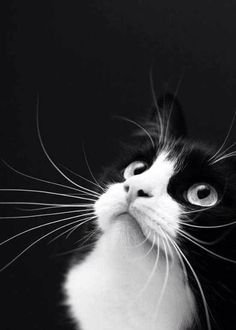 I love black and white cats Pretty Cats, Beautiful Cats, Animals Beautiful, Cute Animals, Pretty Kitty, Animals Images, Crazy Cat Lady, Crazy Cats, Kittens Cutest